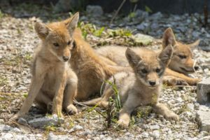 Dessert Puppies, Coyotes, animals, RV, Dry Camping,