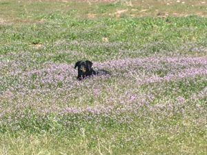 Dog, Field of roses, flowers, RV dog, RV, Rv life, Travel Dog, Travel.